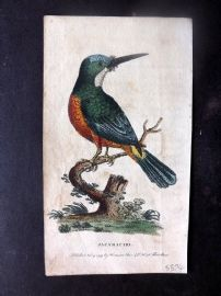 After George Edwards 1799 Hand Col Bird Print. Jacamaciri